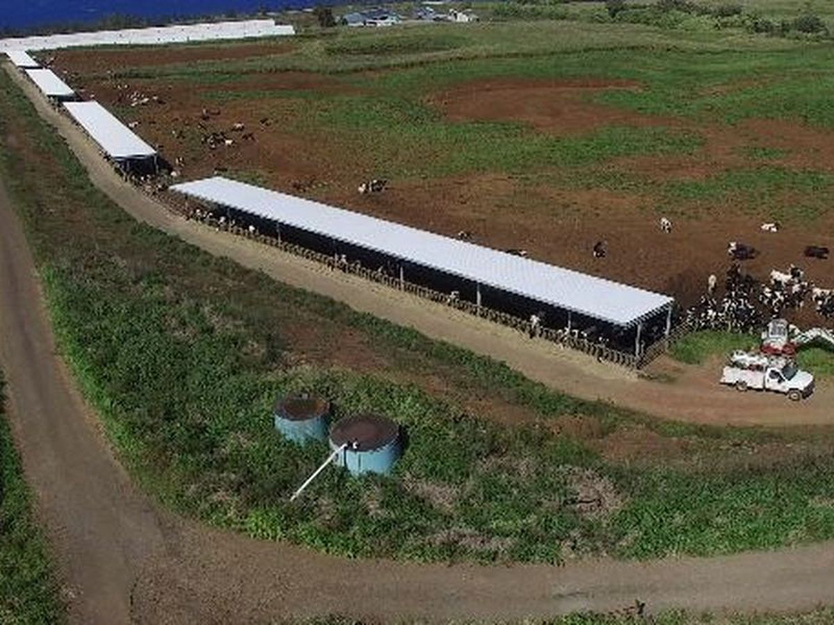 Embattled Big Island dairy farm to cease operations, lay off employees