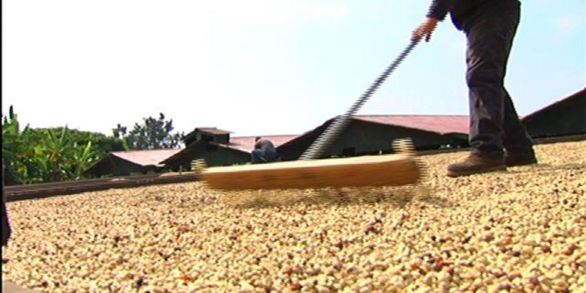 Hawaiian coffee, from the farm to your cup