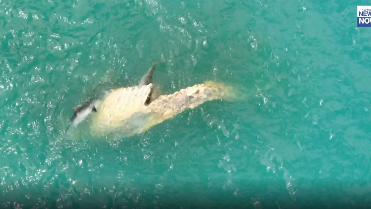 Public urged to stay away from whale carcass that washed ashore at Waimanalo Bay