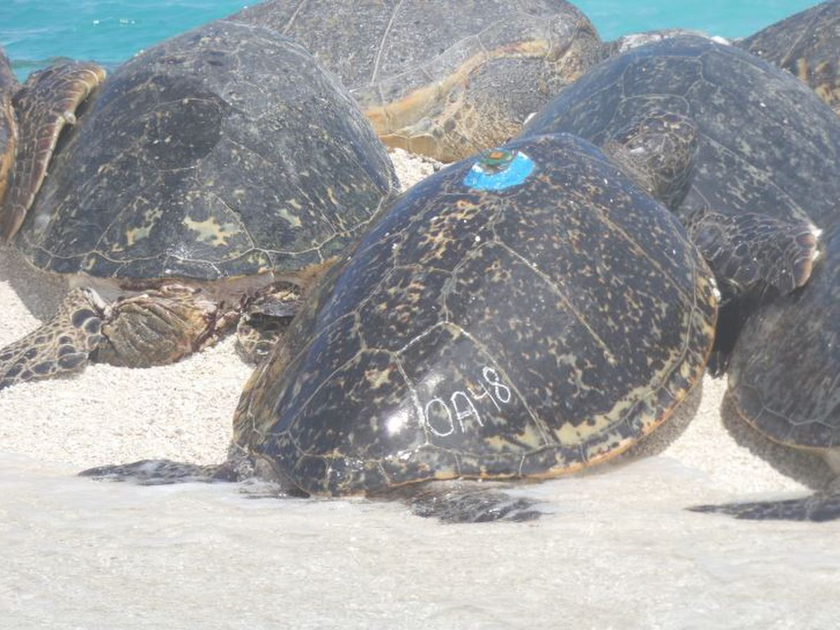 Scientists track a honu's journey to find out where she would lay her eggs