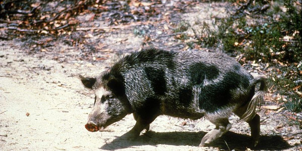 Hawaii plans to extend trial run of Kauai pig hunting