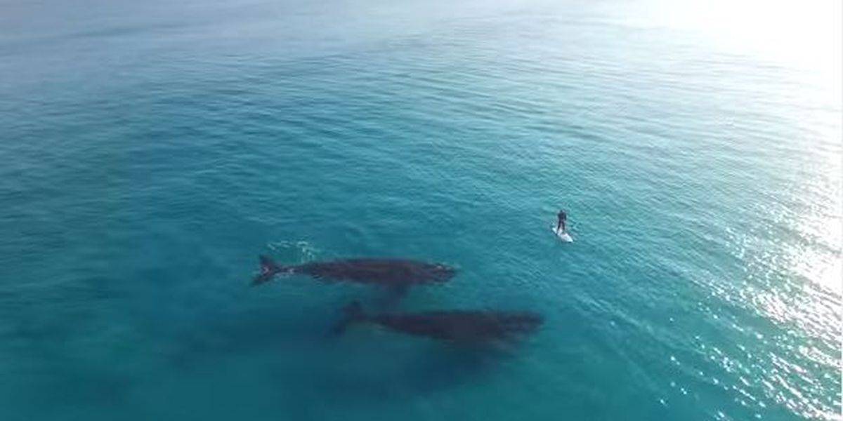 Fewer humpback whales made journey to Hawaiian waters this year