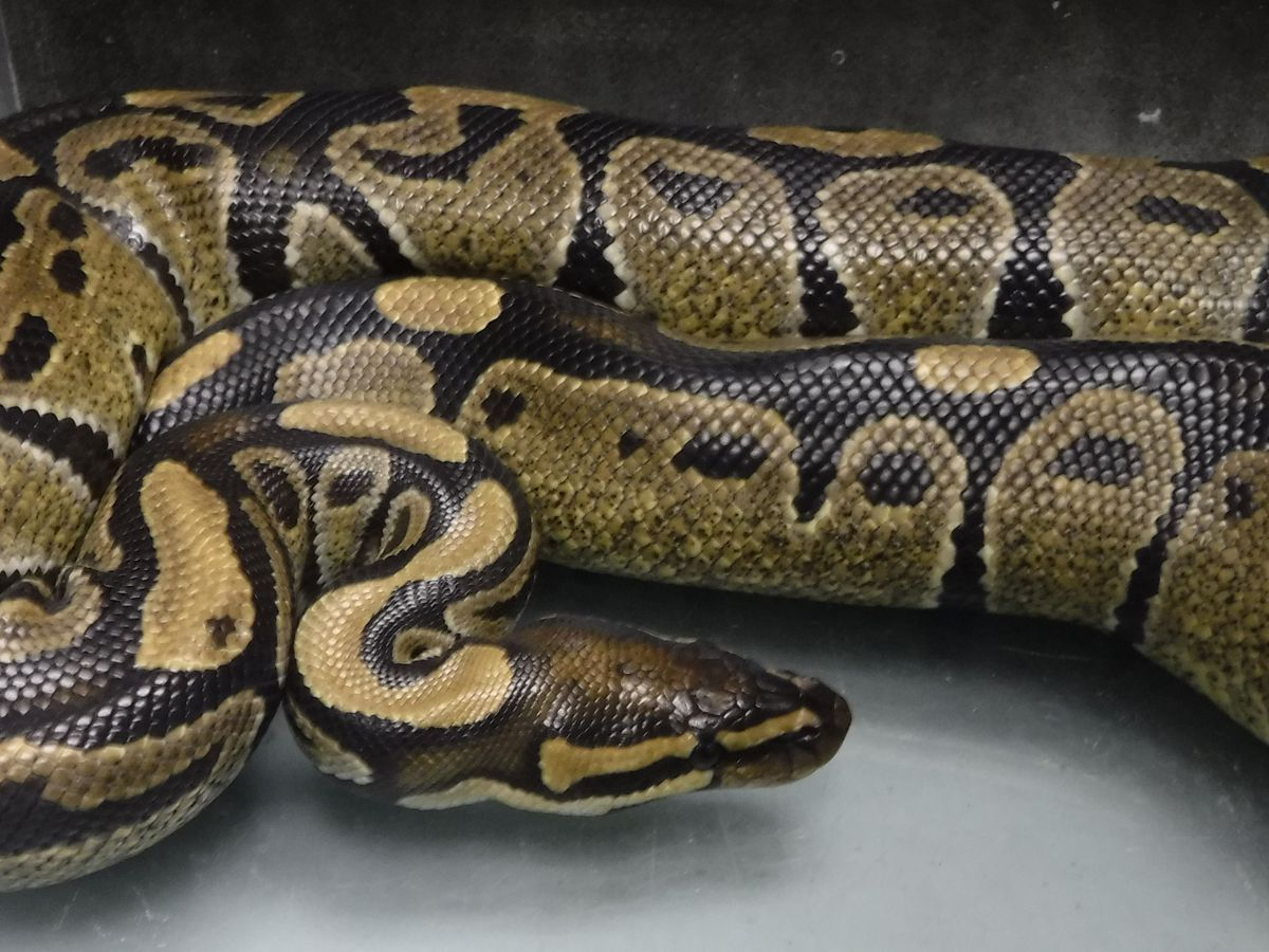 Ambulance crew finds a live ball python in Hilo