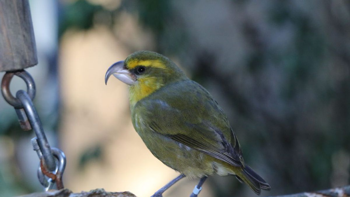 Endangered Maui birds to be moved in effort to save species
