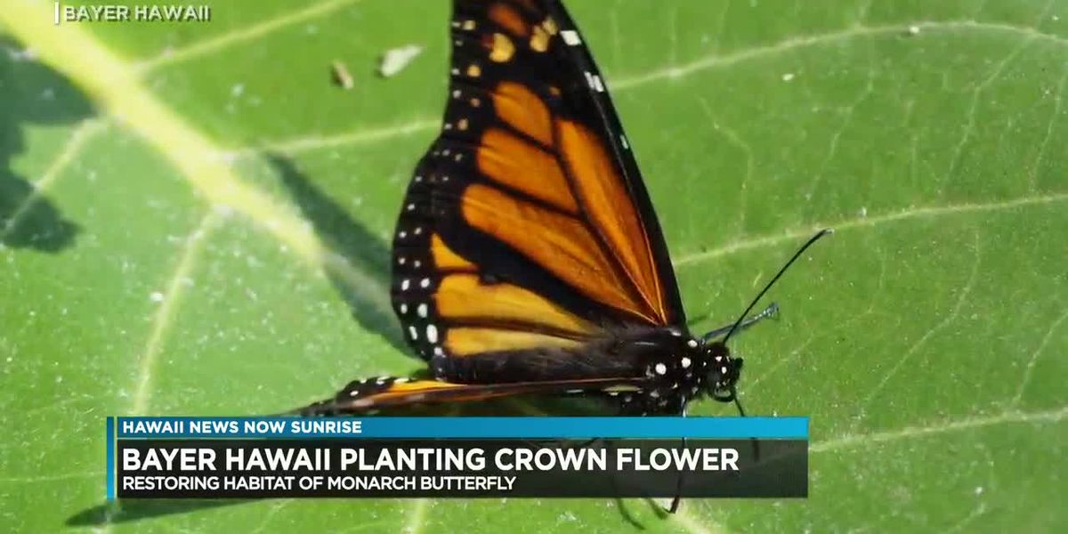 Conservation group is helping restore habits of butterflies across the islands