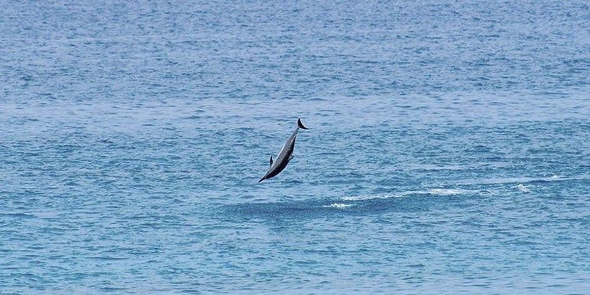 Rules protecting Hawaiian spinner dolphins expected soon