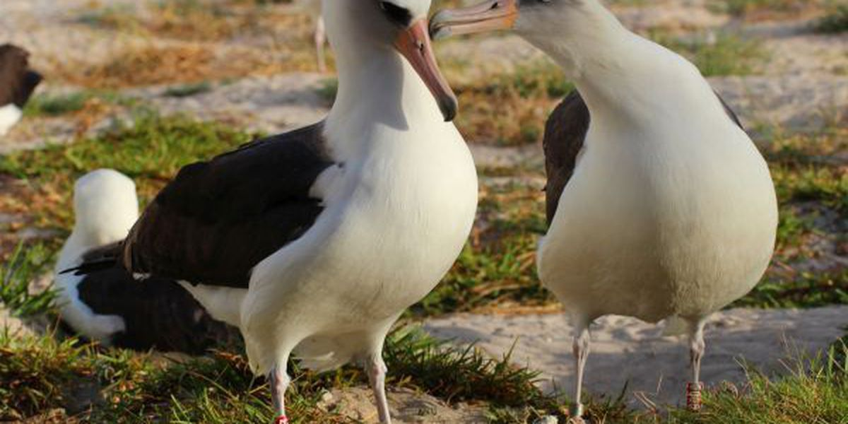 Oldest known seabird is back at Midway Atoll near Hawaii