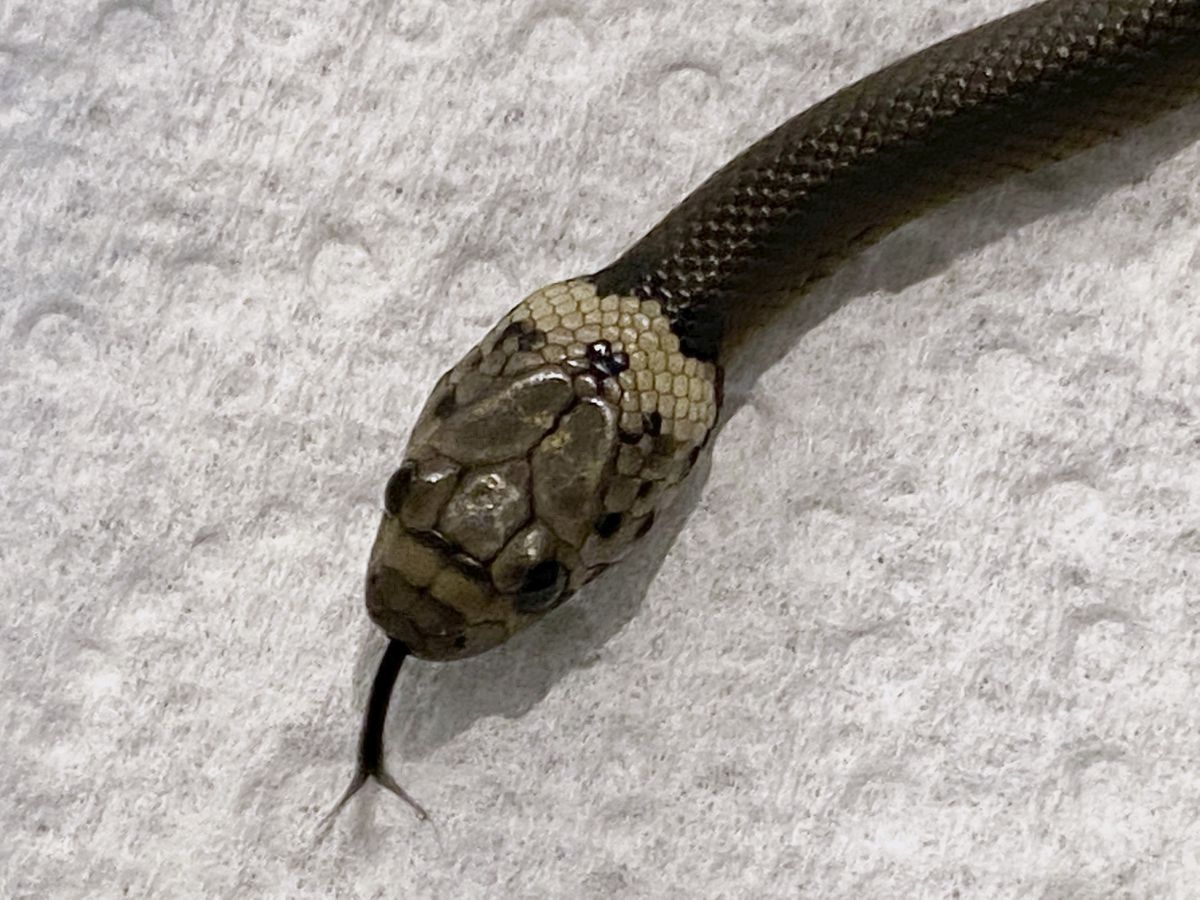 Australian man finds venomous snake in lettuce bought at supermarket