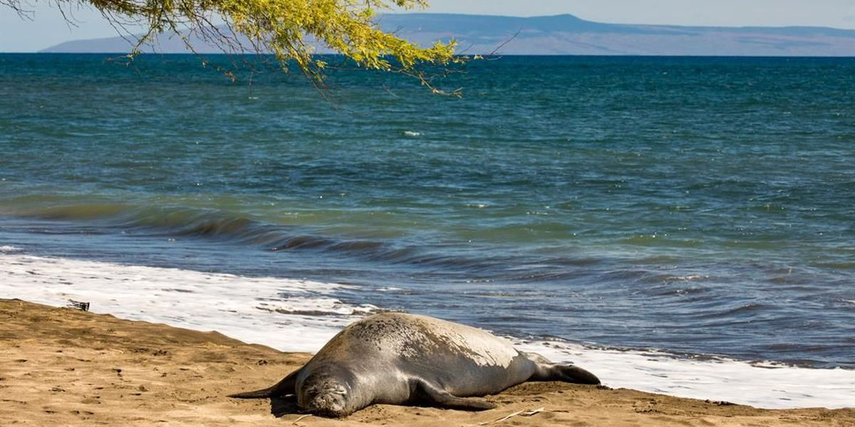 2 men arrested after allegedly pushing, kicking monk seal on Maui