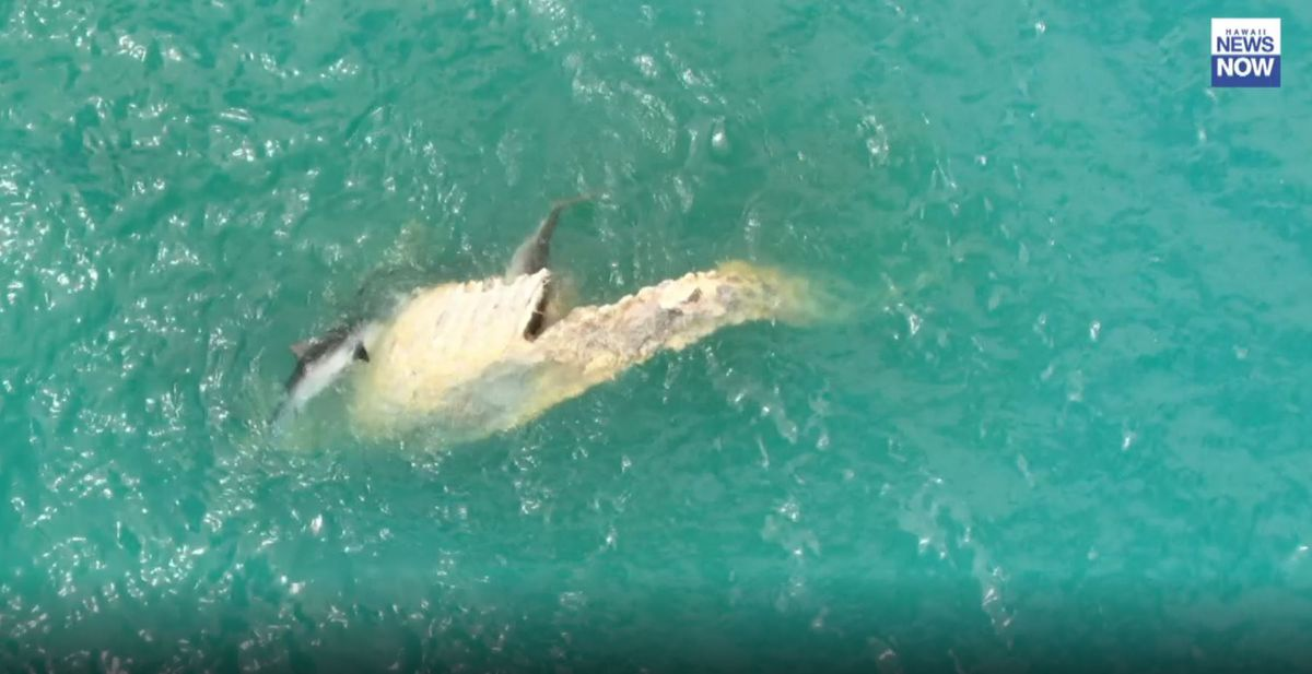 Sharks feeding on whale carcass off a Waimanalo beach