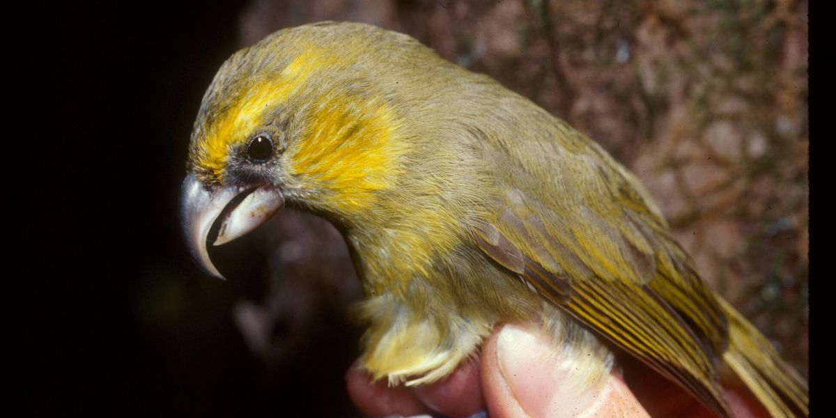 New report finds dramatic population decline in 2 endangered Maui birds