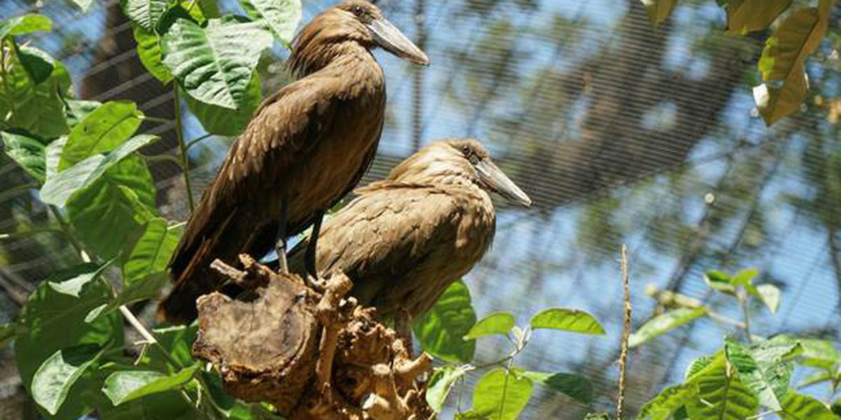 What's a 'hamerkop'? Well, there are 2 of them now at Honolulu's zoo