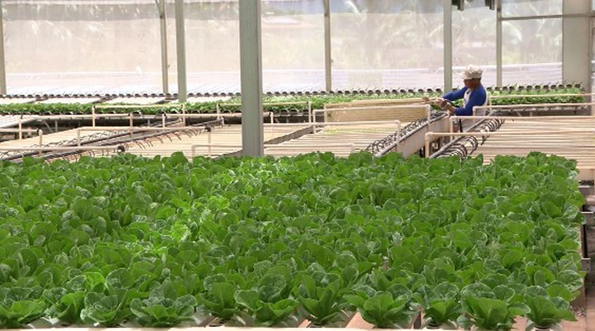 Farms that supply Oahu's restaurants hope for business boost from dine-in services