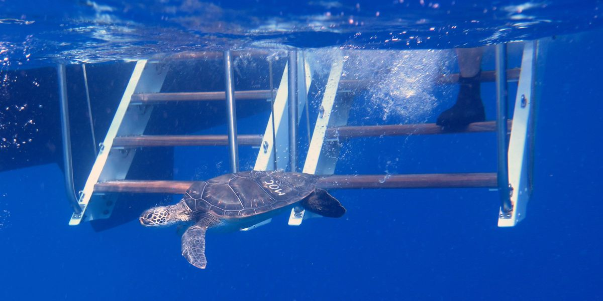 6 honu released from captivity into open waters on Maui