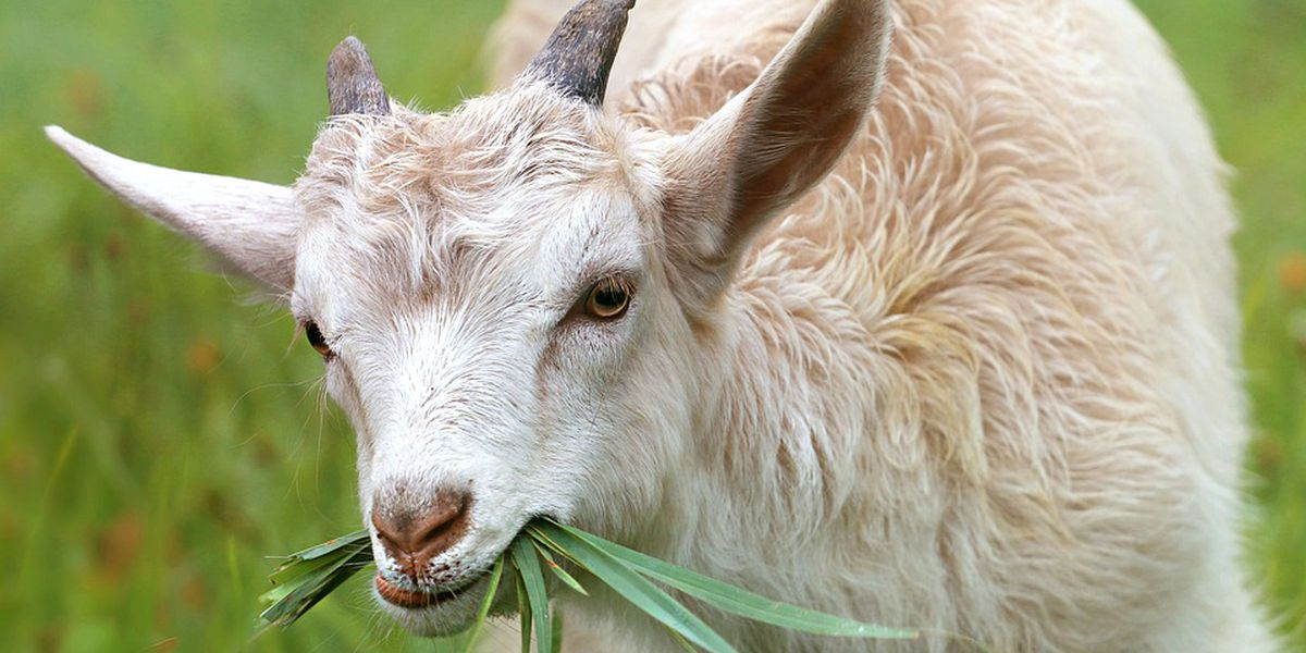 Big Island to use goats as city weed whackers