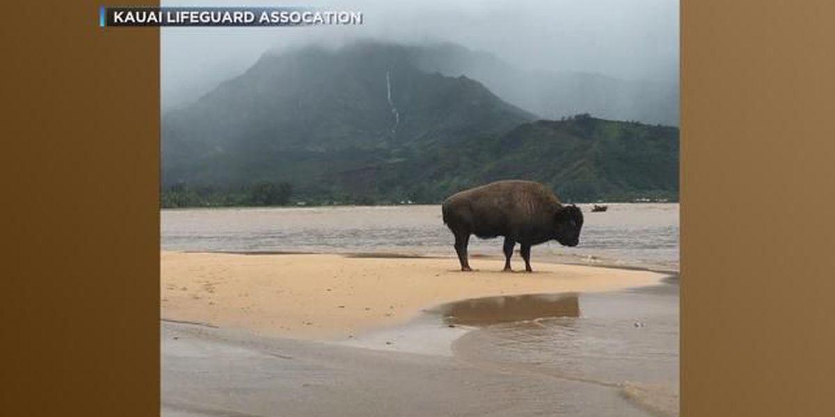 Baby bison from South Dakota helping replenish Kauai herd devastated by flooding