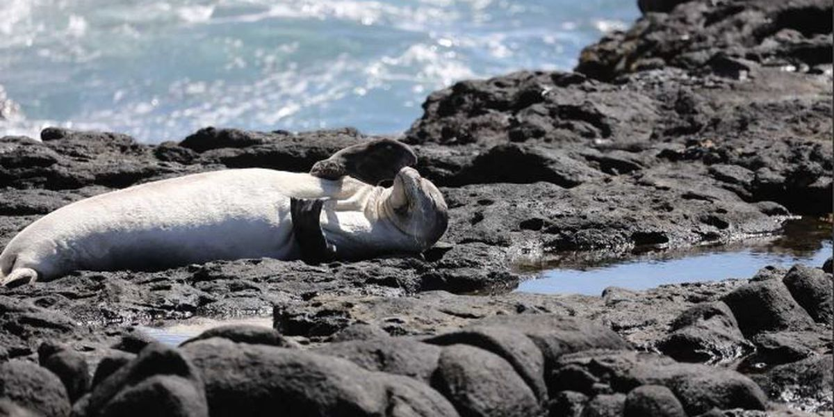 For 5 months, an Oahu monk seal has lived with a fishing hook stuck in its mouth