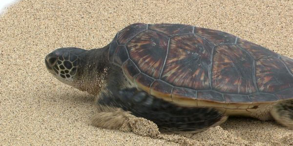 Campaign calls to 'relocate the turtles' as frustration grows over Laniakea gridlock