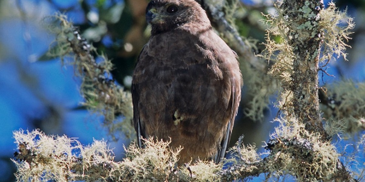 Conservationists rejoice! Hawaiian hawks are no longer endangered