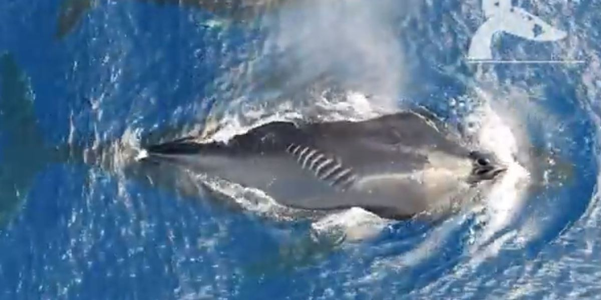 Hawaii team finds many humpback whales with boat strike scarring
