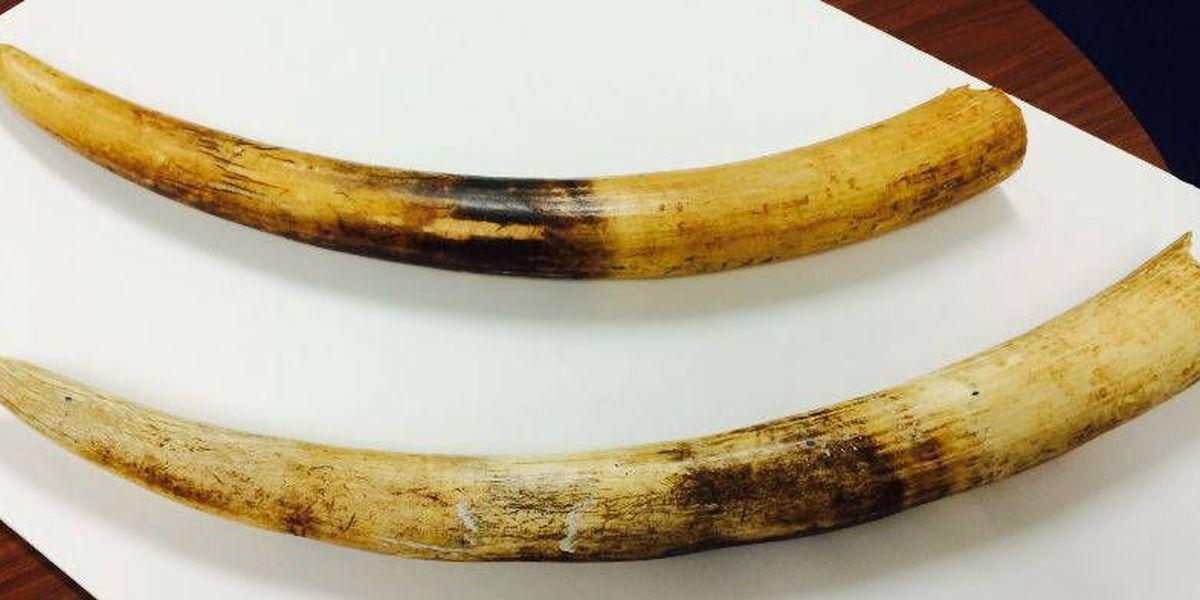 Environmental group debates urging ban on ivory trade