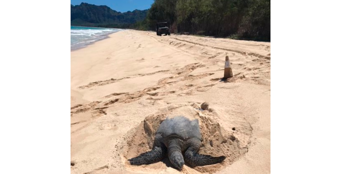 Dozens of honu are nesting at Bellows Beach. That's a first.