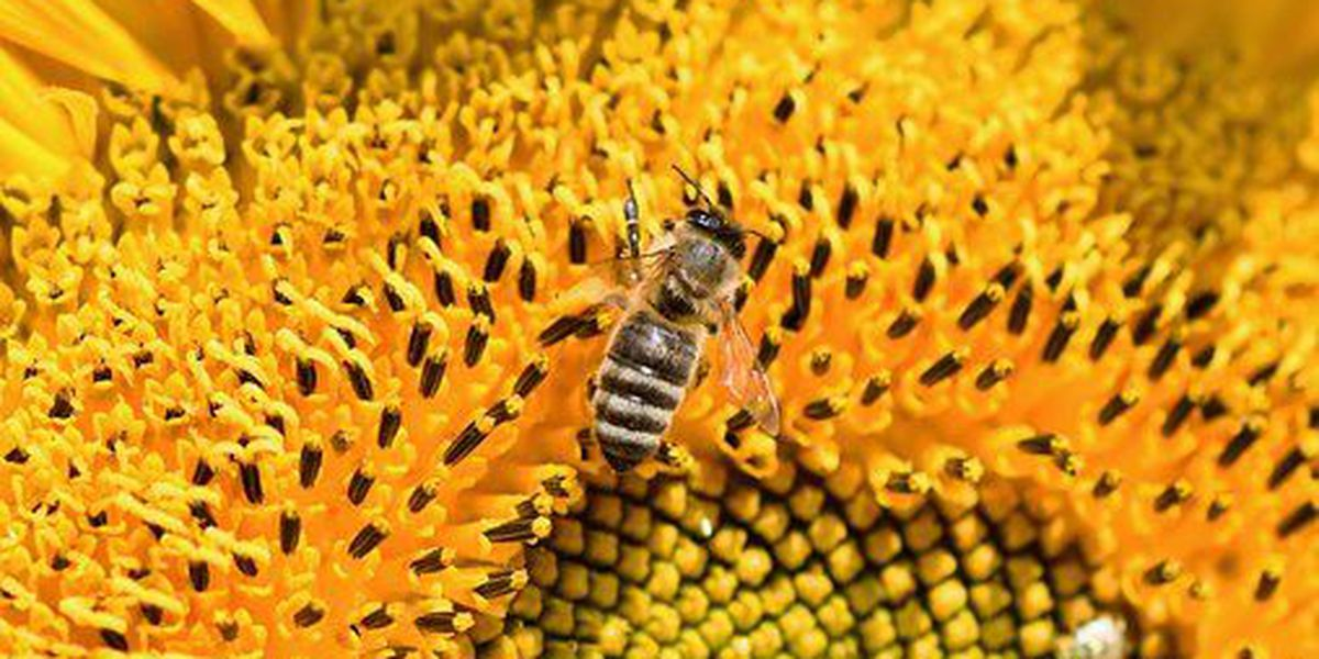 Want a little herbicide in your honey? Study finds Roundup being spread by Kauai bees