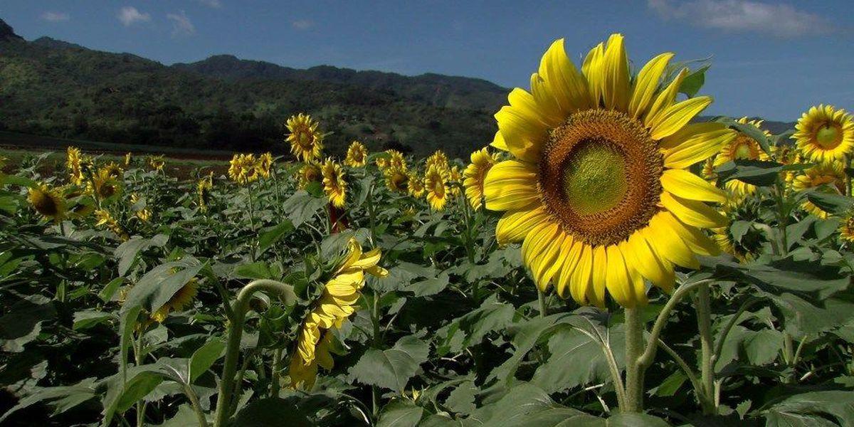 The Waialua sunflower fields are in bloom!
