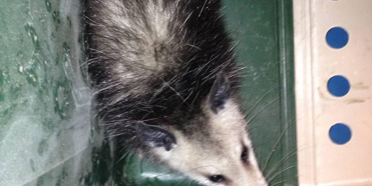 Opossum found and captured in Kakaako