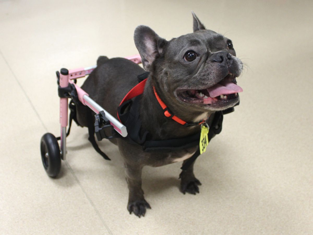 A very special French bulldog is looking for a very special forever home
