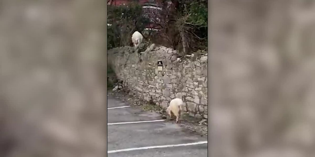 WATCH: Goats take over Welsh city while people are on lockdown