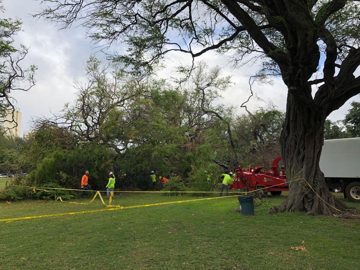 Downed kiawe trees at Kapiolani Park to be removed
