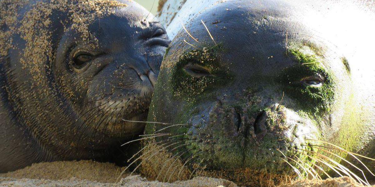 Hawaiian monk seal pup to be moved out of Waikiki
