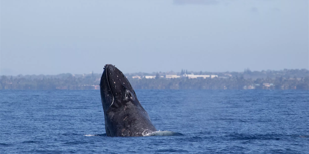 Far fewer humpback whales spotted in annual count off Maui