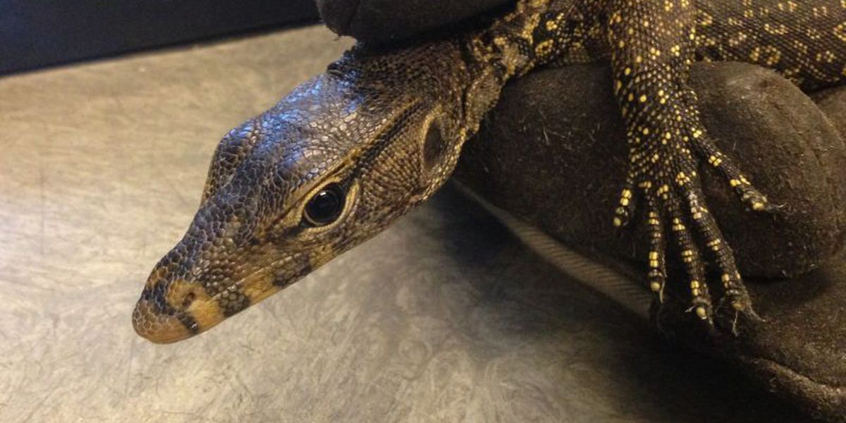Water monitor lizard captured on Oahu
