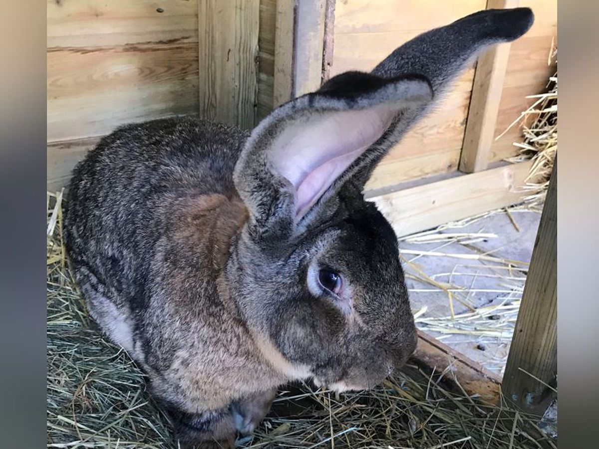 Record-holding giant rabbit stolen in UK, police say
