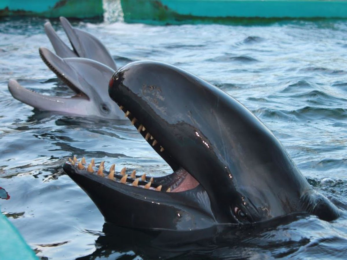 Kina, the beloved false killer whale at Sea Life Park, dies