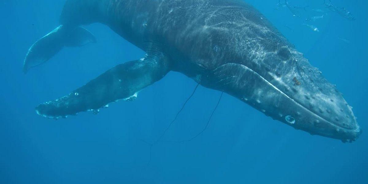 Entangled whale cut loose off Maui coast