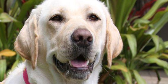 Kapiolani Medical Center's chief canine officer em-'barks' on a new journey