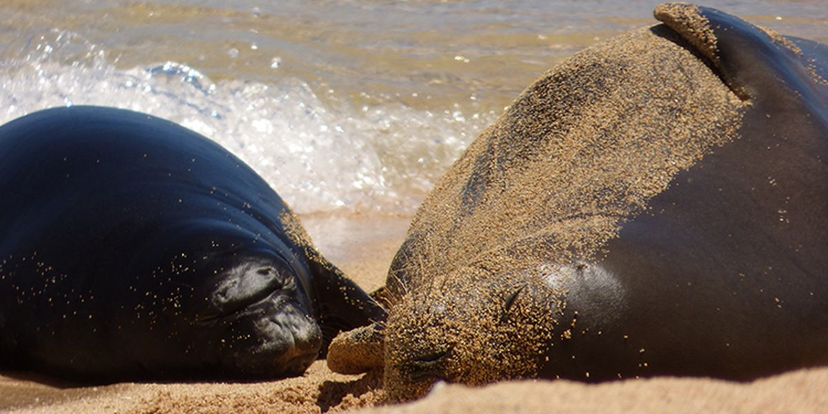 Necropsy reveals cause of death for a monk seal pup born at Kalaupapa