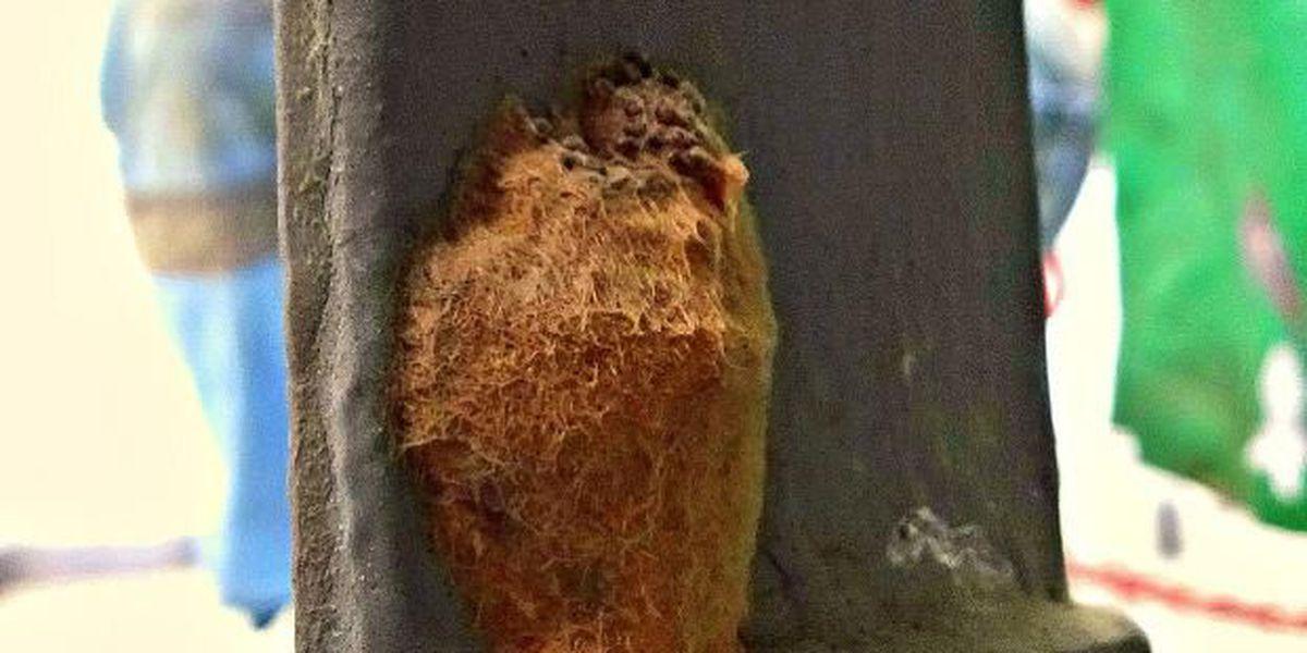 'Egg masses' of destructive moth discovered in Hawaii