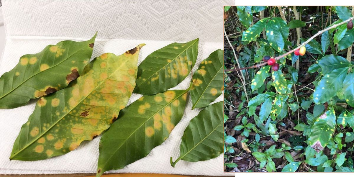 Dept. of Agriculture clamps down on movement of coffee plants in Hawaii