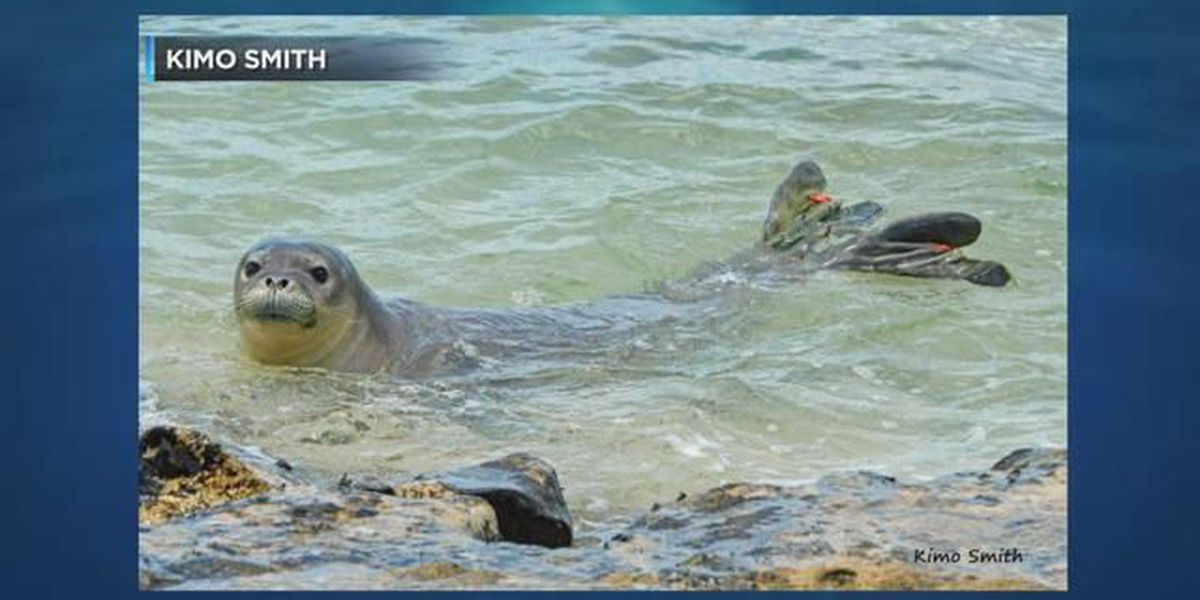 Monk seal reportedly shot by arrow spotted off Yokohama Beach
