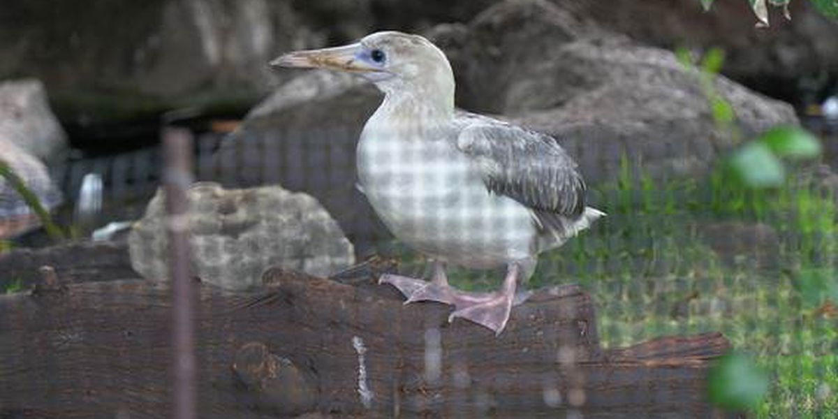 After a wing amputation, a red-footed booby is now greeting crowds at zoo