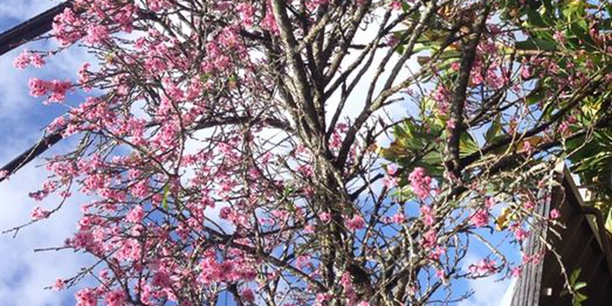 In Wahiawa, Japanese cherry blossoms are in full bloom